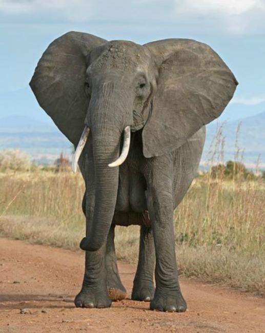elephant-400x503