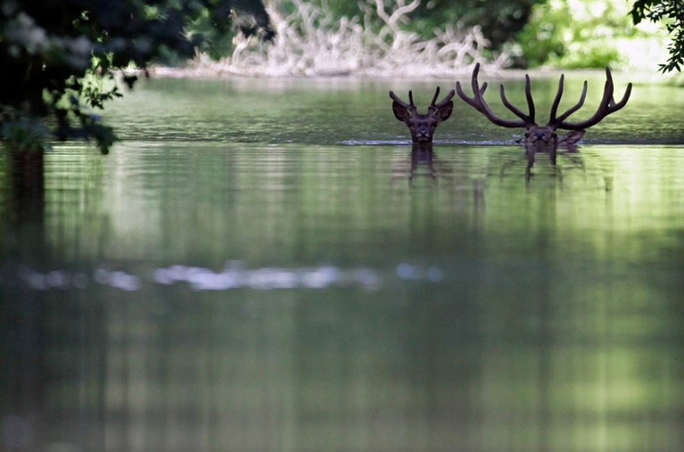 Two deer swim in the Danube River in the Gemenc Forest, Hungary