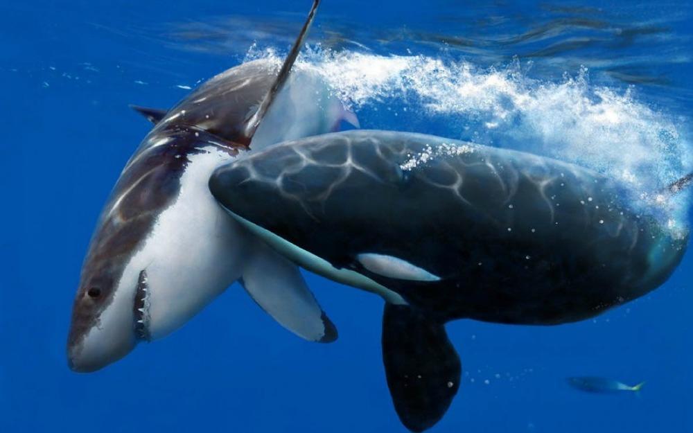 titans_sharks_clash_of_artwork_killer_whales_1680x1050_57950