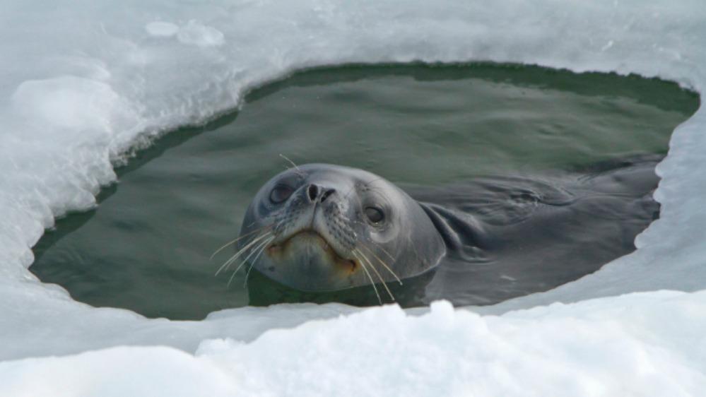 606i_JHiatt_seal_poking_out_ice-hole